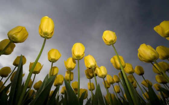цветы, yellow, тюльпаны