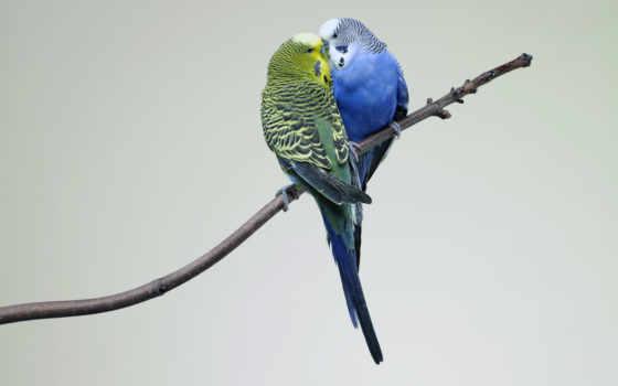 попугаи, птицы, love