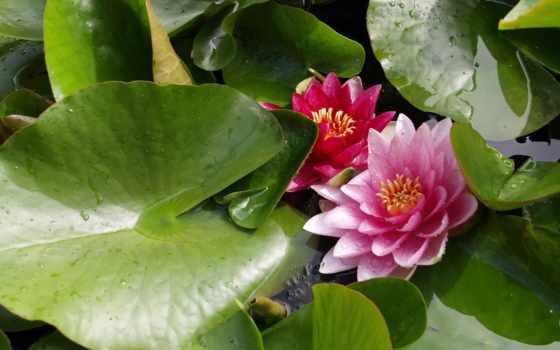 flora, лилии, растения, лопухи, tanaman, лили, алиса,