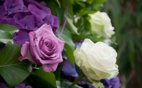 цветы, гортензия, розы