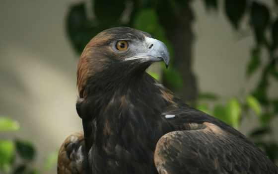 орлан, клюв, голова, птица,