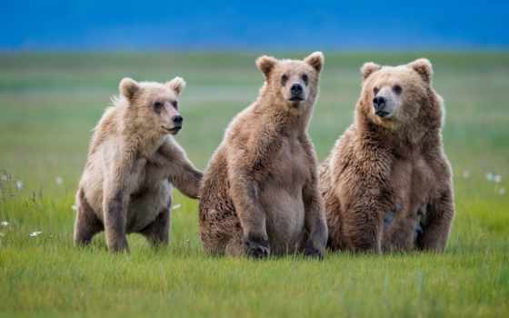 медведь, аляска, трава, браун, женский, have, iphone,