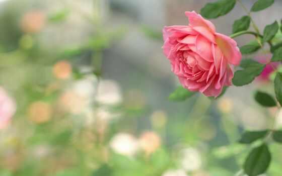 цветы, роза, pinterest, garden, тематика, идея, доска, more, user, смотреть