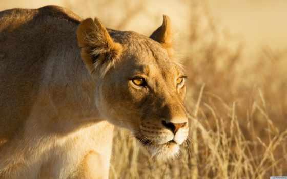 животные, от, львица