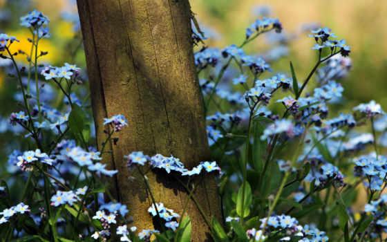 незабудки, цветы, растительность, трава, дерево, blue,