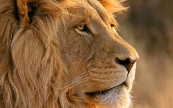 высокого, льва, качества