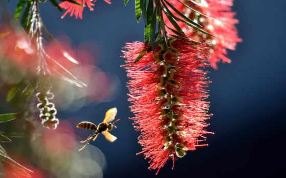 макро, пчелка, цветок