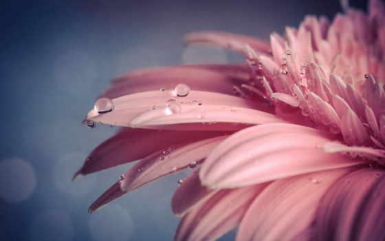 water, drops, цветы, flowers, природа, макро, images, розовый,