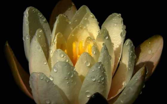 lily, водяная, капли, лилии, водяные, free, cvety, mobile, фото,