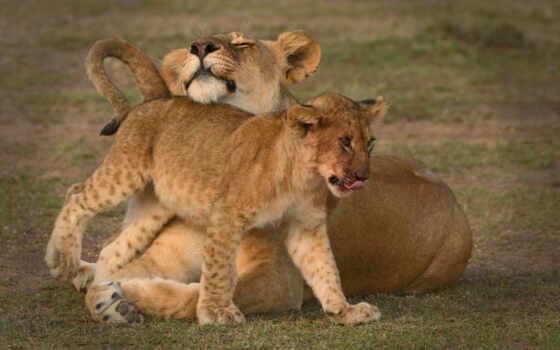 lion, фон