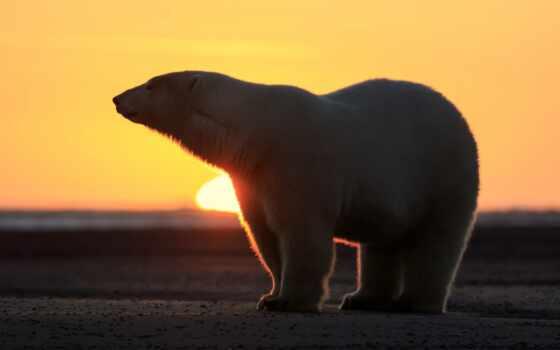 рассвет, white, медведь, free
