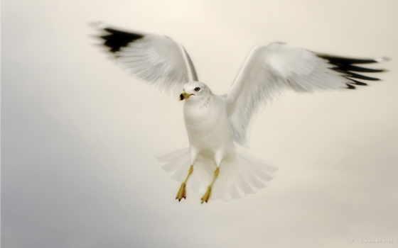 чайка, фото
