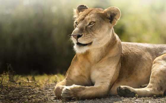 саванна, львица, lion