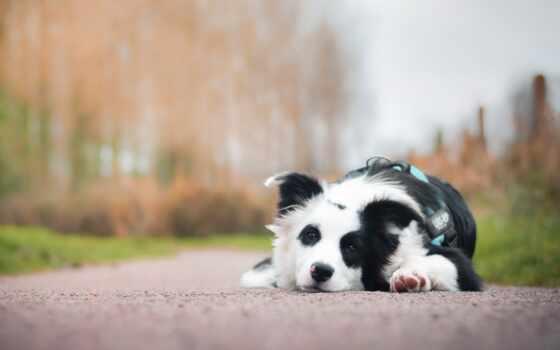 собака, border, колли, друг, leaf, смотреть, взгляд