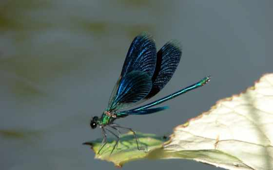 dragonfly, leaf
