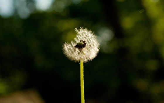 одуванчик, цветы