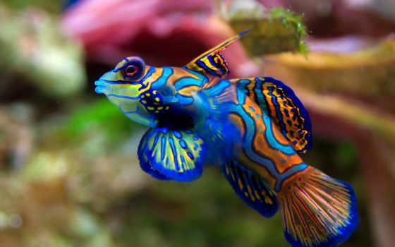 рыба, мандаринка, картинка, рыбки, кораллы, морская, attach, мандариновая, их, акула,