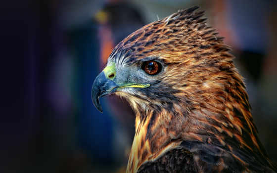 falcon, голова