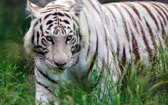 тигр, white, хищник