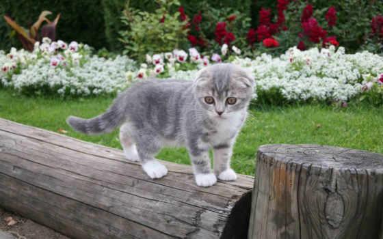 вислоухая, шотландская, кот Фон № 103571 разрешение 2560x1600
