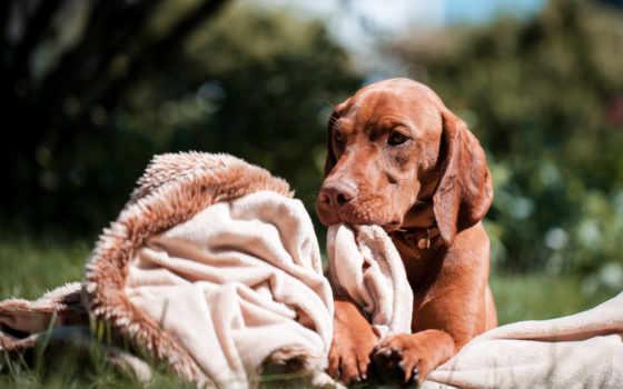 венгерская, выжла, собака, порода, взгляд, плед, трава,