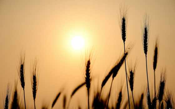 пшеница, колосья, photos, фон, free, vectors, сайте, нашем,