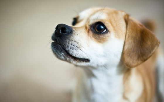 собака, свет, щенок, малыш, большие, взгляд, фрисби, pet, eyes,