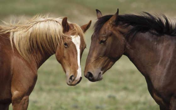 лошадь, лошади, морда, голова, чему, масть, снится, окрас, белое, каурый,