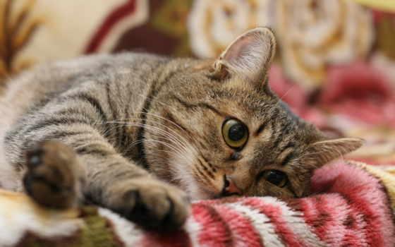 кот, полосатый, серый