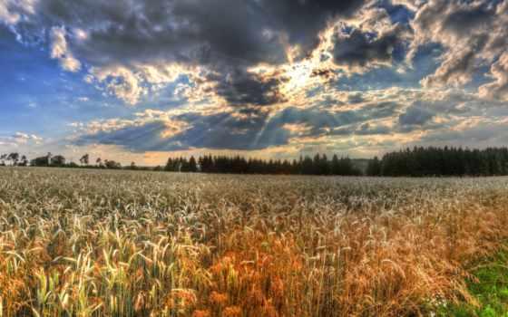 пшеница, you, поле