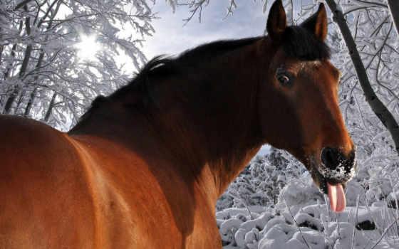 winter, лошадь, язык