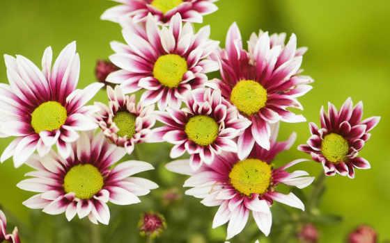 хризантемы, цветы, установить