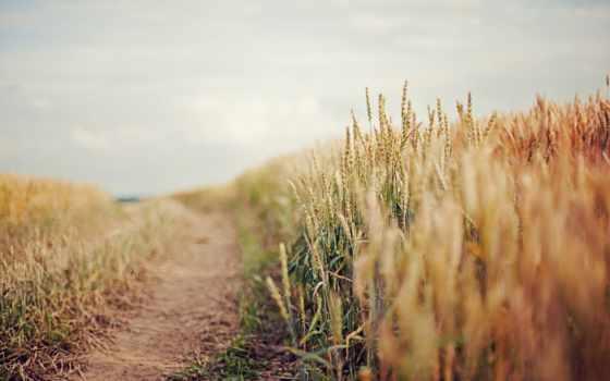пшеница, поле, серьги, небо, дорога,