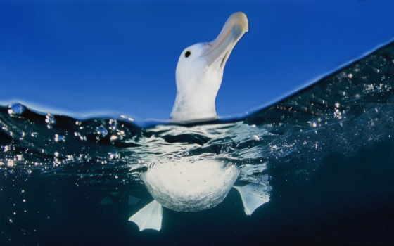 птица, птицы, water, воде, albatross, сова, белая, море, увеличить, чайка,