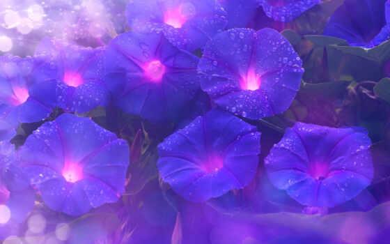 purple, resolution, ultra, цветы, glory, ноутбук, утро, dimension, первую, desktop