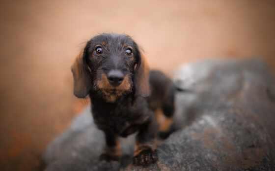 dachshund, собака, фон, cute, mobile, устройство, кот, щенок, порода