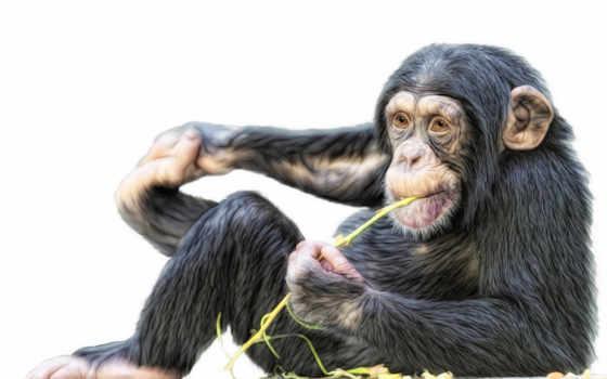 обезьяна шимпанзе