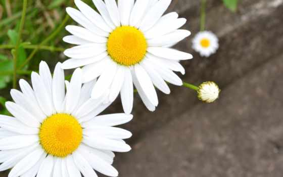 cvety, ромашка, сђрѕрјр