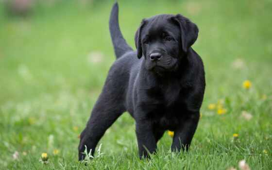 labrador, english, black, щенок, собака, puppies, retriever,
