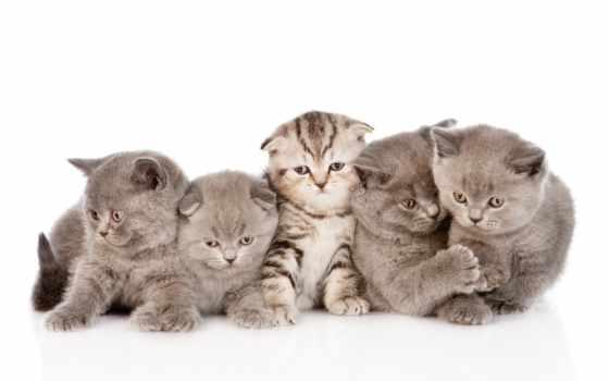 котята, пушистые, вислоухие, коты, заставки,