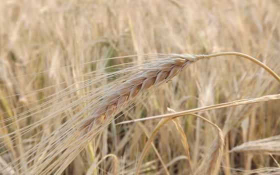 нашем, сайте, колосья, windows, заставки, пшеница, rye, фотографий,