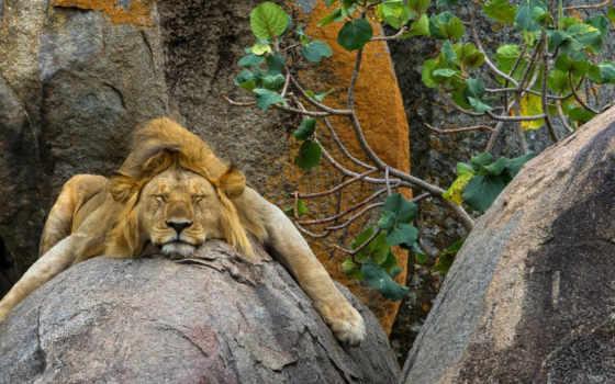 lion, спит
