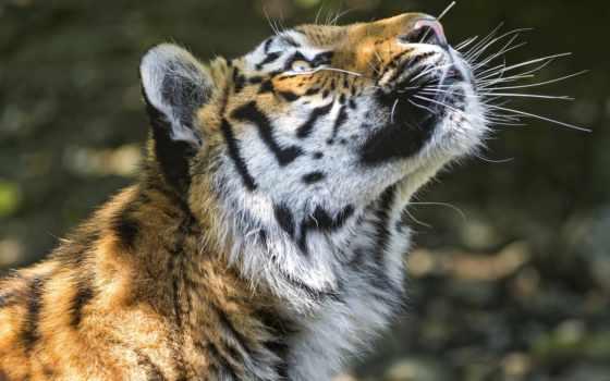 тигр, глаза, profile, siberian,