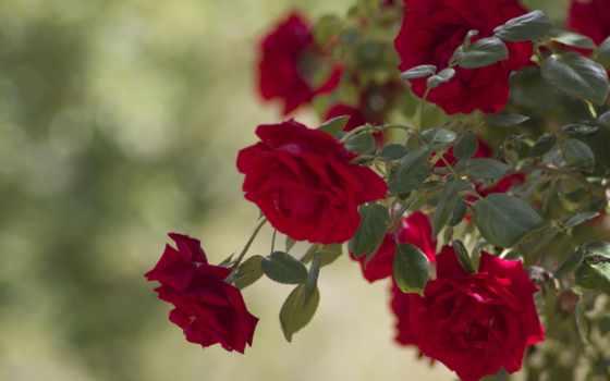 bush, cvety, розы, бутоны, разрешения, smartphone, высокого,