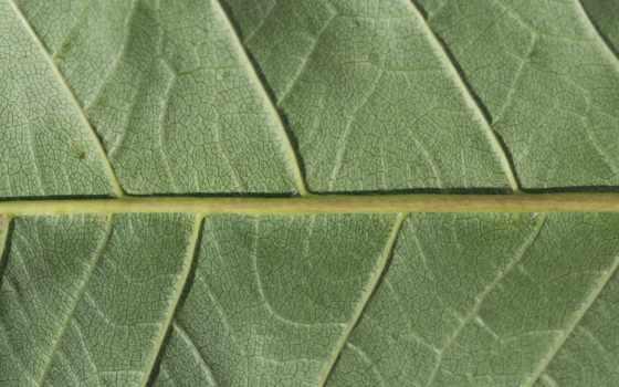текстура, leaf