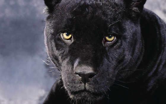 panther, black, найти