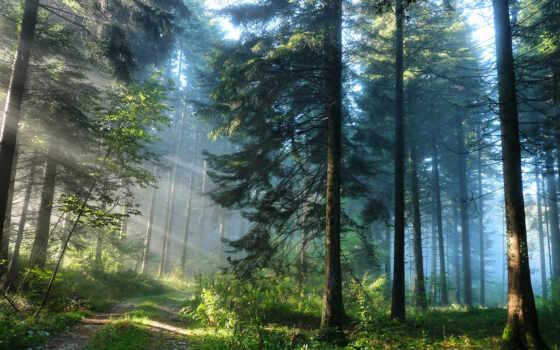 сосны, лесу, высокие