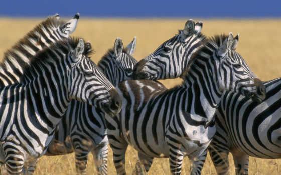 зебры, zebra, zhivotnye