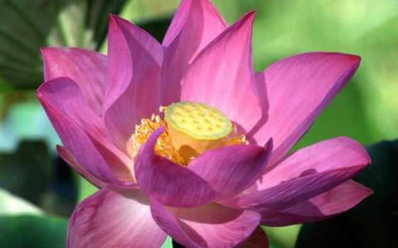 цветы, lotus, рисунки