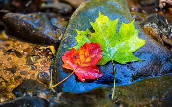 листва, осень, ultra, клен, water, dingo,